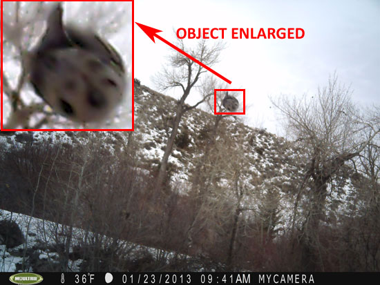 PHOTO & ENLARGEMENT OF UNKNOWN OBJECT TAKEN BY GAME CAMERA.