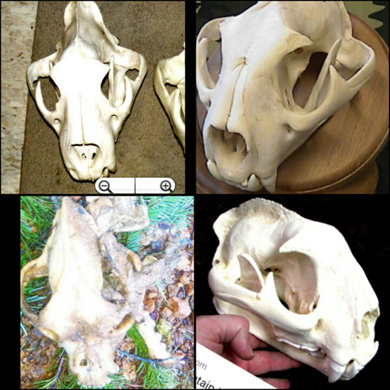 PHOTO COLLAGE OF SHOWING 3 PHOTOS OF A MOUNTAIN LION SKULL. THE LOWER LEFT PHOTO IS FROM THE SKELETON FOUND NEAR ROGUE RIVER, OR.