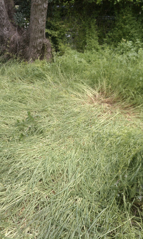 Photo of Flattened Weeds in Witness's Front Yard.