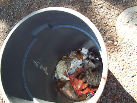 Photo of Raccoon That Got Into Sealed Garbage Can.